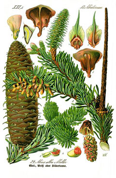Abies alba Silver Fir, Christmas Tree Fir, European Silver Fir, Silver