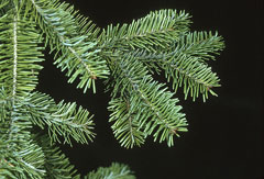 Abies balsamea Balsam Fir
