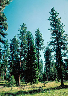 Abies concolor Colorado Fir, White fir