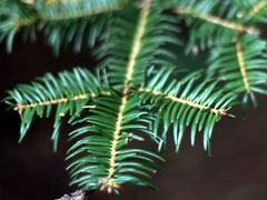 Abies firma Momi Fir, Japanese Fir