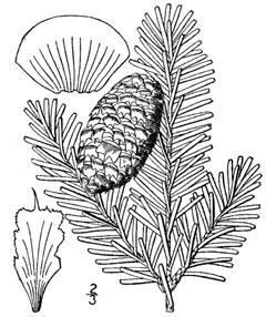 abies fraseri she balsam fraser fir southern balsam fir pfaf plant  abies fraseri she balsam fraser fir southern balsam fir