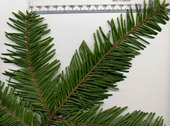 Abies grandis Grand Fir, Giant Fir, Lowland White Fir