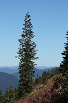 Abies lasiocarpa Subalpine Fir, Alpine Fir