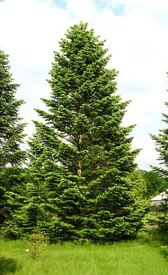 Abies nordmanniana Caucasian Fir, Christmas Tree Fir, Nordmann