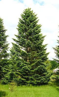 abies nordmanniana caucasian fir christmas tree fir nordmann pfaf plant database. Black Bedroom Furniture Sets. Home Design Ideas