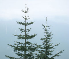 Abies procera Noble Fir