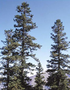 Abies squamata Flaky Fir