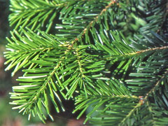 Abies veitchii Veitch Fir, Christmastree
