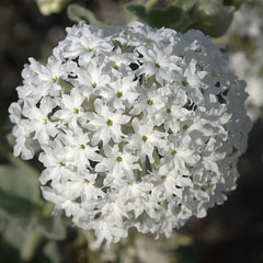 Abronia fragrans Snowball Sand Verbena