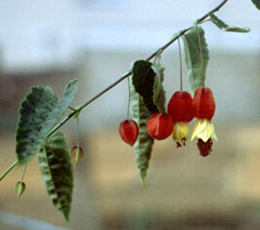 Abutilon Megapotamicum Trailing Abutilon Pfaf Plant Database
