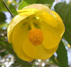 Abutilon pictum Abutilon, Parlour Maple, Flowering Maple, Spotted