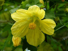 abutilon x hybridum Chinese Lantern, Flowering Maple