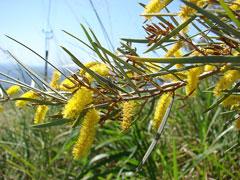 Acacia Aneura Mulga Acacia Pfaf Plant Database