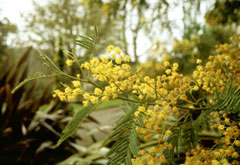 Acacia Dealbata Mimosa Silver Wattle Pfaf Plant Database