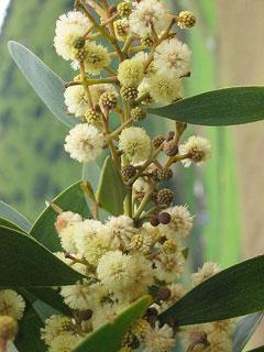 Acacia Melanoxylon Blackwood Australia Acacia Black Acacia