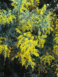 Acacia Podalyriifolia Queensland Silver Wattle Pearl