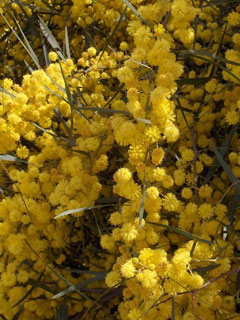 Acacia saligna Blue-Leaved Wattle, Orange wattle