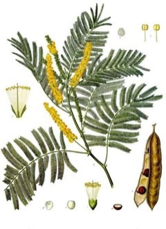 Acacia catechu Cutch tree, Catechu acacia