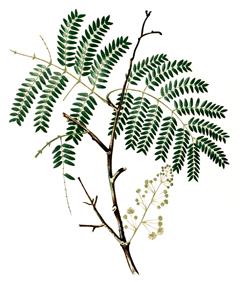 Acacia Concinna Shikakai Soap Pod Pfaf Plant Database