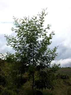 Acacia Mearnsii Black Wattle Late Black Wattle Pfaf Plant Database
