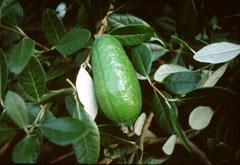 Acca Sellowiana Feijoa Pineapple Guava Pfaf Plant Database