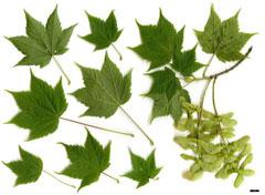 Acer Argutum Pfaf Plant Database
