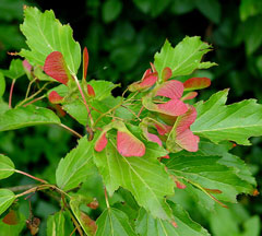 Acer ginnala Amur Maple
