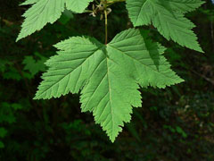 Acer glabrum Rock Maple, Rocky Mountain maple, Douglas maple, Greene