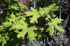 Acer saccharum grandidentatum Big-Tooth Maple