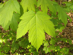 Acer pseudoplatanus Sycamore, Great Maple, Scottish Maple, Planetree Maple