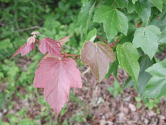 Acer rubrum Red Maple, Drummond