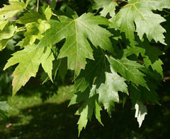 Acer saccharum Sugar Maple, Florida Maple, Hard Maple, Rock Maple