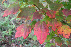 Acer spicatum Mountain Maple