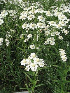 achillea ptarmica sneeze wort sneezeweed pfaf plant database