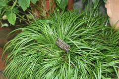 Acorus gramineus Grass-leaved Sweet Rush, Japanese Sweet Flag, Dwarf Sweet Flag