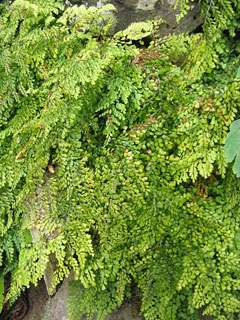 Adiantum venustum Evergreen Maidenhair  Fern