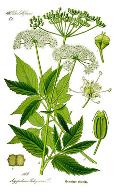 Aegopodium podagraria Ground Elder, Bishop