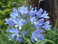 Agapanthus africanus African Lily, Lily of the nile