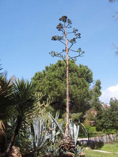 Agave americana Agave, American century plant