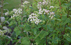 Ageratina altissima White Snakeroot, Richweed