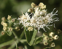 Ageratina herbacea Fragrant Snakeroot
