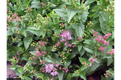 Ageratina occidentalis Western Snakeroot