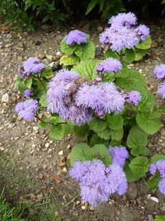 Ageratum houstonianum Ageratum Bluemink Floss Flower Garden