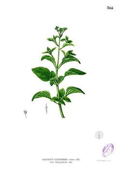 Ageratum conyzoides Goatweed Tropical whiteweed PFAF Plant Database