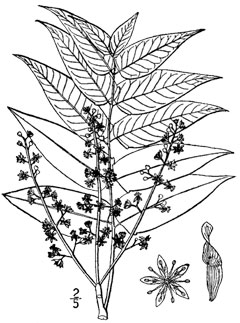 Ailanthus altissima Tree Of Heaven