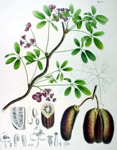 Akebia quinata Akebia, Chocolate vine, Fiveleaf Akebia ...