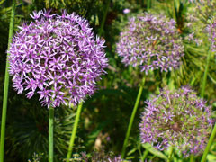 Allium aflatunense Persian Onion, Ornamental  Onion