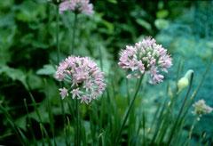 Allium Canadense Allium canadense Canadian