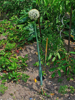 Allium cepa Onion, Garden onion