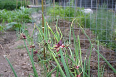 Allium cepa proliferum Tree Onion